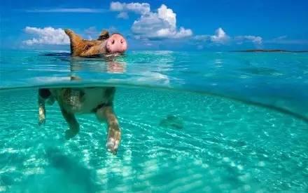 海里游泳的猪仔
