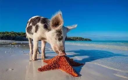 沙滩上的小猪猪