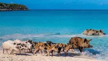 游走在沙滩上的小猪