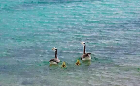 纳木错湖畔的斑头雁