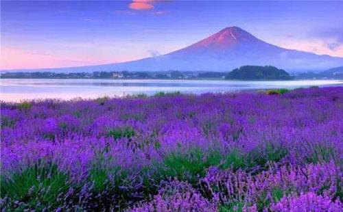 富士山薰衣草1