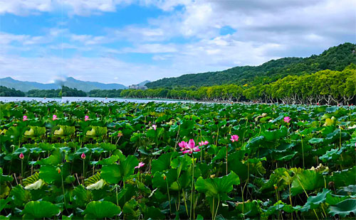 杭州西湖荷花