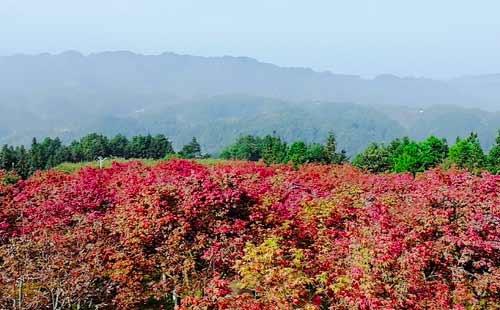 巴南五洲园、观生态园林红叶一日游赏红枫