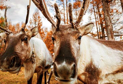 敖鲁古雅使鹿部落1