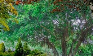 北海老榕树1