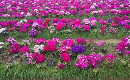 铜梁安居古镇、奇彩梦园一日游赏花季